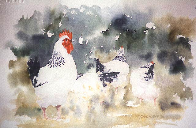 """Harem""  Light Sussex cock and hens painted in watercolour. This old English breed is a very popular exhibition chicken. I love their smart plumage of white and black with irridescent blue and green highlights. Size unframed: c.30 x 20cm."