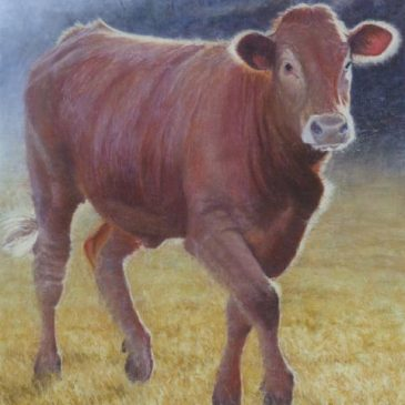 Feisty Limousin