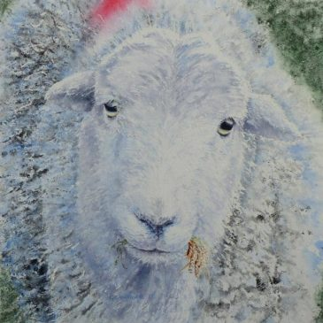 Hungry Herdwick Sheep