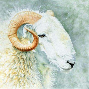 Talybont Welsh Ram