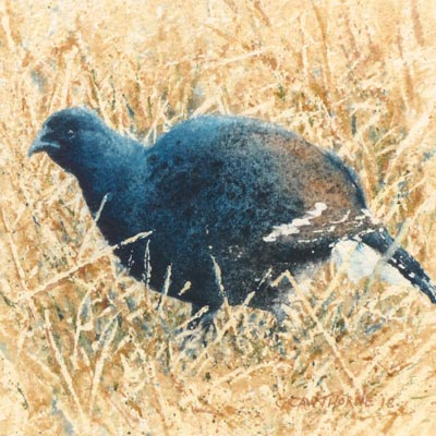Black Grouse painting by Gillie Cawthorne